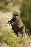 Baboon. A baboon in the wild in Namibia, Africa Stock Image