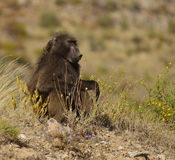 Baboon. A baboon in the wild in Namibia, Africa Royalty Free Stock Photography