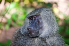 Baboon. In the beautiful forest of Lake Manyara National Park, Tanzania stock photography