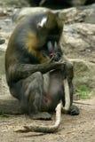 Baboon Stock Photo