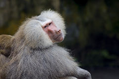 Baboon. Portrait of a Hamadryas baboon in the wild Stock Photos