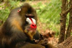 Baboon Arkivfoto