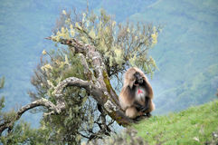 Baboon Royalty Free Stock Images