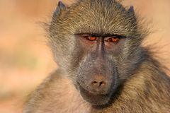Baboon. A Baboon in a wild life reserve in South Africa stock photos
