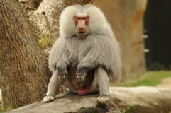 Baboon. Taken at Auckland zoo jan 2013 royalty free stock photo