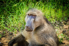 Baboon portrate Stock Image