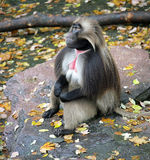 baboon 3 Στοκ φωτογραφίες με δικαίωμα ελεύθερης χρήσης