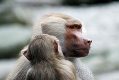 Baboon. Portrait of a grey baboon with its baby royalty free stock photo