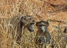 Baboon. A mother chacma baboon with her child in the Kruger National Park, South Africa Stock Photo