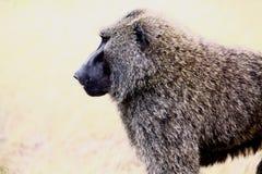 baboon 3 Στοκ Φωτογραφία