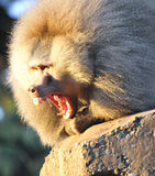 Baboon. A baboon showing who is boss royalty free stock photography