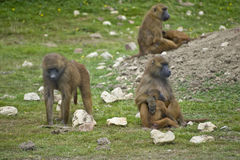 Baboon 5. Family troop of baboons in captivity royalty free stock images