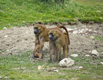 Baboon 5 Royalty Free Stock Photography