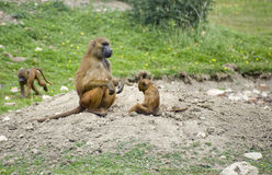 Baboon 5. Family troop of baboons in captivity stock image