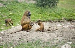 Baboon 5 Stock Image