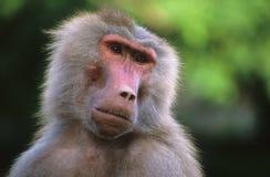 baboon Arkivfoton