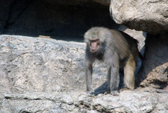 Baboon. In the Brooklyn's Prospect Park Zoo stock images