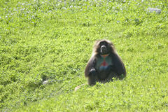 Baboon. A baboon grazing in a green field by himself stock images