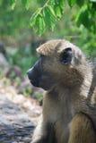 baboon στοκ εικόνα