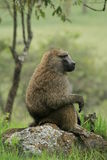 Baboon. A photo of an african Baboon sitting on a rock Stock Images