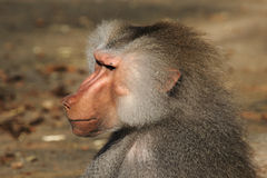Baboon. Close up of a Baboon stock images