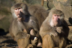 Baboon. Close up of two baboons stock photography