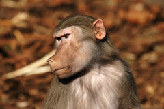 Baboon. Close up of a Baboon's Head stock photo
