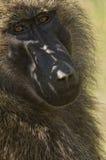 Baboon. Portrait of baboon ,  Masai Mara National reserve, Kenya Royalty Free Stock Photography