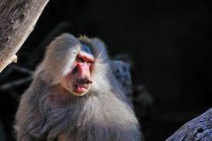 Baboon. Portrait of single baboon outdoors royalty free stock photos