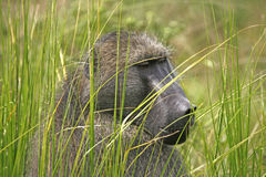Baboon. Close of a baoon sitting in the grass Stock Photos