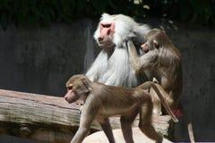 baboon royaltyfri fotografi