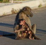 Baboon in Africa. A female chacma baboon (Papio ursinus) with her infant son in the road, photographed in South Africa Royalty Free Stock Photos