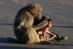 Baboon in Africa. A chacma baboon (Papio ursinus) grooming her infant son in the road, photographed in South Africa Stock Photography