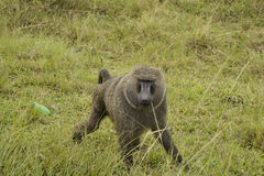 Baboon in the african bush Stock Photo