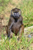Baboon in the African savannah Stock Photography