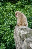 Baboon alone in a rock. Baboon with red face seated alone in the top of a rock royalty free stock images