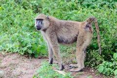 Baboon. A baboon in amboseli national park of Kenya stock photos