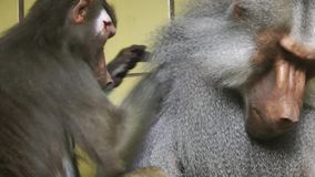 Baboon Animal in Zoo. Video stock footage