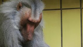 Baboon Animal in Zoo. Video stock video
