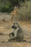 Baboon and antelope Royalty Free Stock Photo