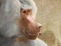 Baboon anticipates pleasure Royalty Free Stock Photos