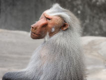 Baboon ape monkey africa primates. Male Baboon with contemplative view Royalty Free Stock Photo