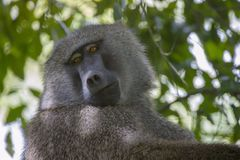 Baboon in mountain rainforest of Tanzania Royalty Free Stock Image