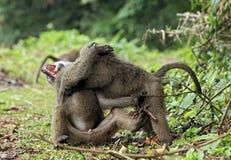 Baboon Babies Fighting. Juvenile Olive Baboons (Papio Anubis) Fighting. Bigodi Swam, Uganda royalty free stock photos