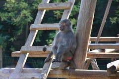 Baboon. African monkey animal nature sitting wild wildlife mammal ape primate park fauna closeup big stock image