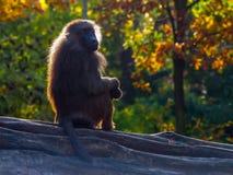 Baboon. Monkey aka Papio from Africa and Arabian Peninsula stock photography