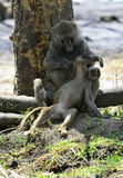 Baboon. S in the natural habitat. Africa. Kenya royalty free stock images