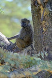 Baboon. S in the natural habitat. Africa. Kenya royalty free stock photography