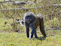 Baboon. S in the natural habitat. Africa. Kenya royalty free stock photo