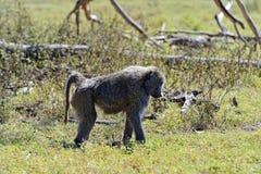Baboon. S in the natural habitat. Africa. Kenya stock image
